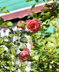 おぎはら植物園さんからご到着♡とPayPayで深夜までお買い物♫ - 薪割りマコのバラの庭