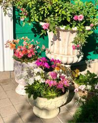 我が家のブルーローズ達♡と、またレウィシアの寄せ植え♫ - 薪割りマコのバラの庭