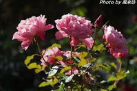 四季の香ローズガーデンで秋バラを愛でる(2) - 四季彩の部屋Ⅱ