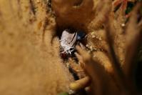 クロマダラソテツシジミの羽化 - 蝶超天国