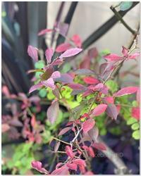 ブルーベリーとコハウチワカエデの紅葉 - 小さな庭 2