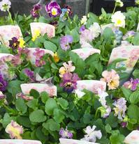 パンジーとビオラを植え付ける季節 - お花は幸せの贈りもの~Sweet Lees