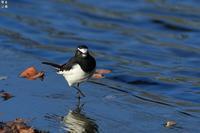 セグロセキレイの舞い - 野鳥公園