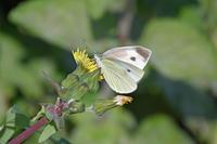 モンシロチョウ眞子様のお気持ち - 蝶のいる風景blog