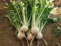 小粋菜(白蕪)の試し採り・2作目も順調うどは枯れてきた - ざっかラボ九隆庵 創作事情