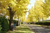 岡山大学農学部のイチョウ並木へ。 - Bicycle Touring Photo Gallery.