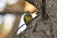 キバラガラ - そらと林と鳥