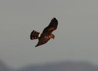 田園地帯のハイイロチュウヒその10(飛翔) - 私の鳥撮り散歩