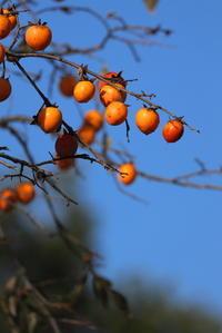 公園の柿木 - 平凡な日々の中で