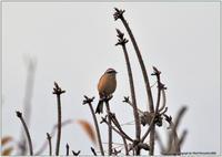 ホオジロの♂と♀ - 野鳥の素顔 <野鳥と日々の出来事>