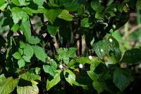 首飾りスズメウリ(雀瓜)他 - 身近な自然を撮る