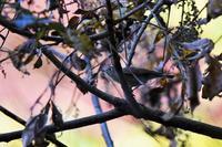 紅葉をバックにルリメスさん - 鳥と共に日々是好日②