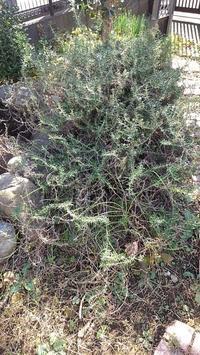 ローズマリー掘り起こし - ウィズ(ゼロ)コロナのうちの庭の備忘録~Green's Garden~