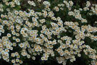 ノジギク(野菊)とツワブキの花 - ハチミツの海を渡る風の音