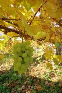 少なくなった緑袋 - ~葡萄と田舎時間~ 西田葡萄園のブログ