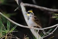 今季初撮りミヤマホオジロ - 『彩の国ピンボケ野鳥写真館』
