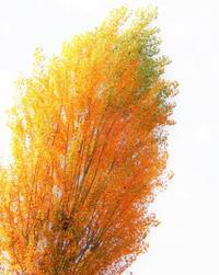 梔子染めの花と葉と * yellow flowers, yellow leaves - ももさへづり*うた暦*Cent Chants d' une Chouette