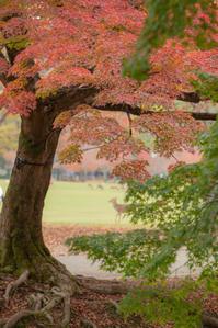 鹿と紅葉。。。 - 気ままにお散歩