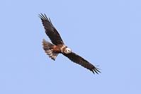 チュウヒ - 野鳥の視線