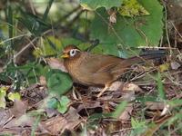 庚申山にはガビチョウが多い - コーヒー党の野鳥と自然パート3