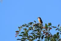 モズ警戒中 - 野鳥公園