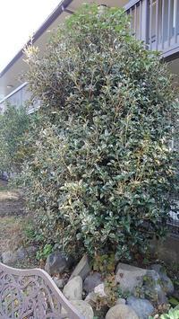 ヒイラギモクセイの剪定 - ウィズ(ゼロ)コロナのうちの庭の備忘録~Green's Garden~
