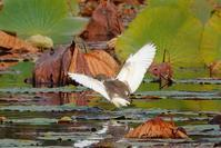 アカガシラサギ、アカゲラ、クロジ、アオバトなど(2020.11.11 & 14) - 週末バーダーのBirding記録
