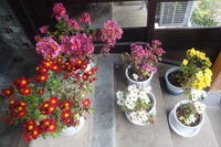 玄関に菊の鉢を置いたら… - Surrounded by nature