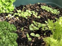 種蒔きしたのは2週間前だった - 島暮らしのケセラセラ