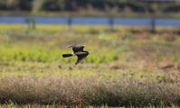 田園地帯のハイイロチュウヒその12(飛翔) - 私の鳥撮り散歩