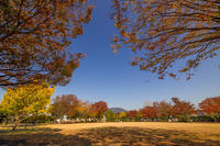 色付く公園の欅と銀杏 - やきつべふぉと