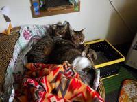 猫団子 - ねこっかぶりねこ3