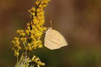 深まりゆく秋 - 蝶の縁