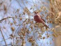 お山のオオマシコたち - トドの野鳥日記