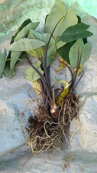 里芋掘り起こし - ウィズ(ゼロ)コロナのうちの庭の備忘録~Green's Garden~
