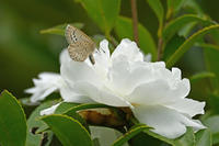 ムラサキツバメ  塒を巡る - 蝶のいる風景blog