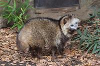 飼育員の呼びかけに答えるホンドタヌキ「ポン」(井の頭自然文化園) - 続々・動物園ありマス。