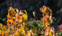 秋色 - 趣味の野鳥撮影