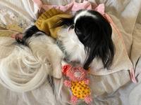 犬手作り食6周年☆彡 - 狆の茶々丸