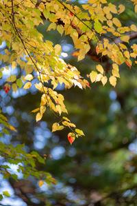 黄葉もまた、秋の風情。。。 - 気ままにお散歩