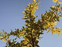 石榴の紅葉とブロッコリー茎の糠漬け - いととはり