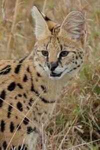 ケニアでサファリ35、ケニアでは初見、初撮りのネコ科サーバル - 旅プラスの日記