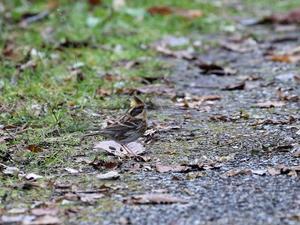今季初のミヤマホオジロだった・・・ - 一期一会の野鳥たち