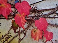 ツタの紅葉 - 里山の四季