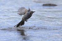 ヒヨドリ大河で水浴び - 気まぐれ野鳥写真