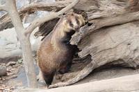 ニホンアナグマ「カステラ」のでんぐり返りとフェネック団子(井の頭自然文化園) - 続々・動物園ありマス。