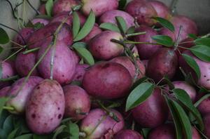 むべの実 収穫 -