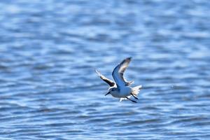 ミユビシギの飛翔 -