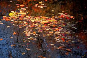 色づく御用水跡街園 - 一期一会