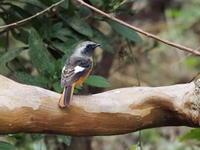 湿性園地に縄張るジョウビタキ - コーヒー党の野鳥と自然パート3